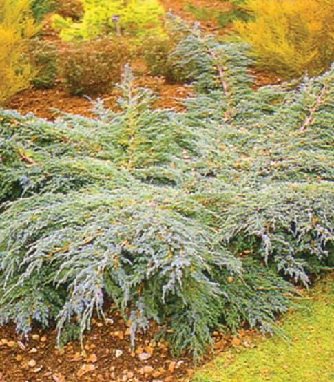 Juniperus squamata blue carpet bra a topalovi - Juniperus squamata blue carpet ...
